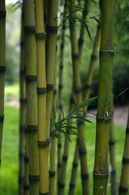 bamboo-kew